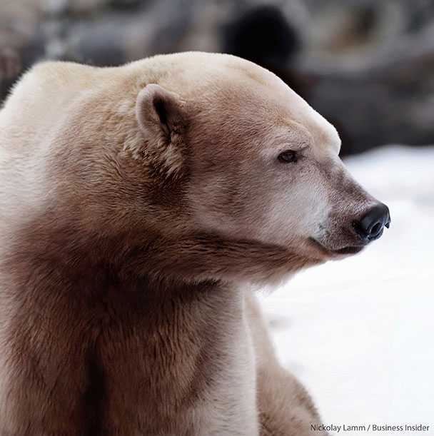 Polar-Bear-and-Grizzly-Hybrid-Nickolay-Lamm